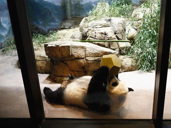 US national zoo's giant panda Mei Xiang artificially inseminated