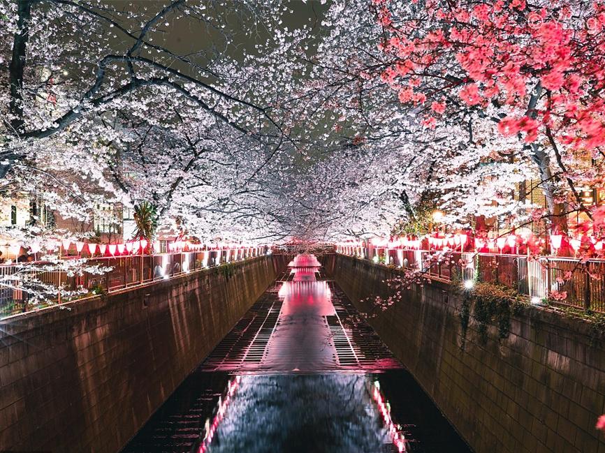 Lanterns light up cherry blossoms at night along Tokyo river