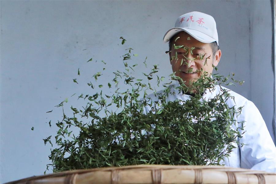 Local farmers busy making Qingming Cuiya in SW China's Guizhou