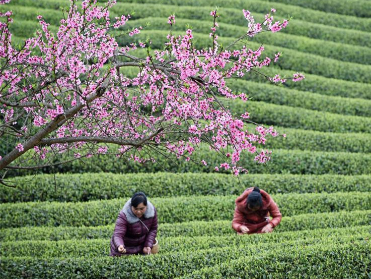 Farmers busy harvesting tea leaves ahead of Qingming Festival in China's Guizhou