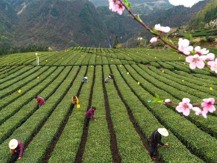 Local peak harvest season of tea approaches in Zigui County, China's Hubei