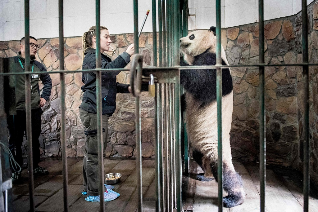 2 pandas to leave for Denmark in 15-year research project