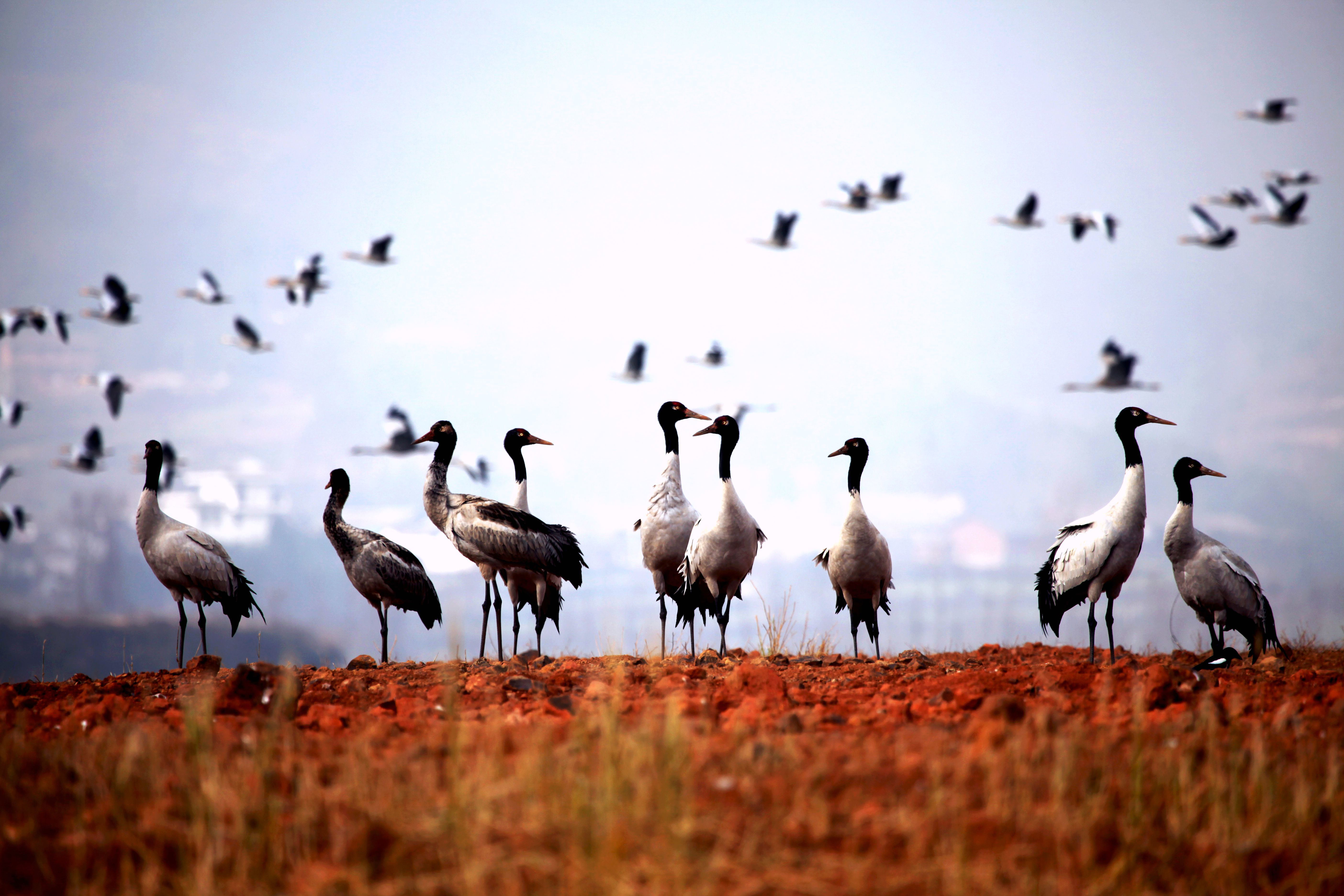 Young people protect black-necked cranes in SW China
