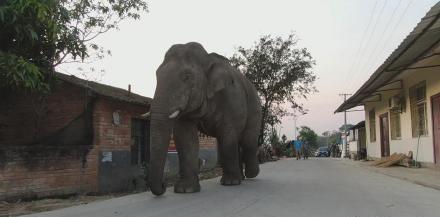 Wild elephant wreaking havoc from mating season mood-swing arrested