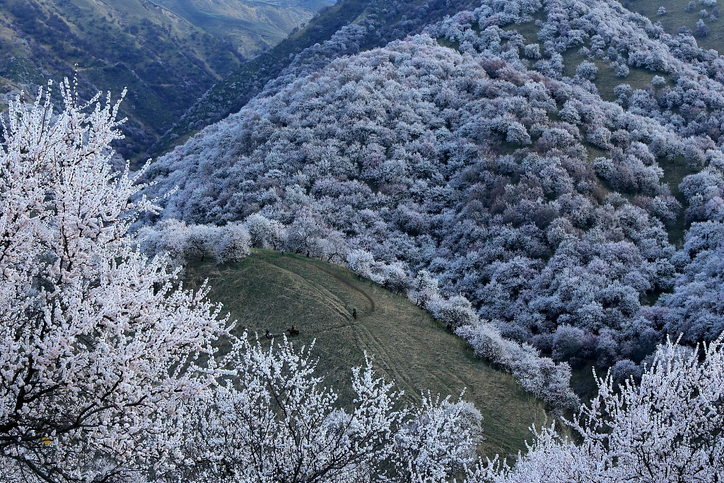 Xinjiang's tourism blooms with flower tours