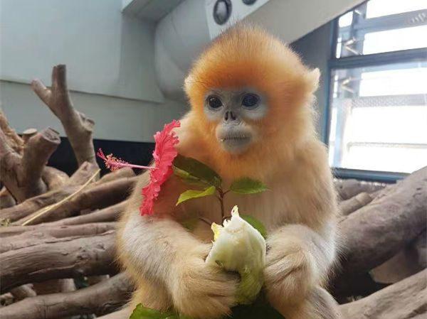 First HK-born golden snub-nosed monkey returns to Sichuan