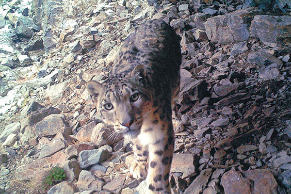Snow leopards thrive under protection