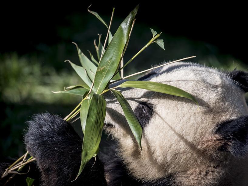 Chinese pandas serve as friendship ambassadors in Europe