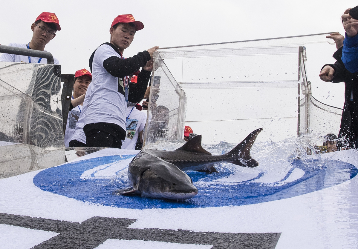 700 Chinese sturgeons released into China's longest river