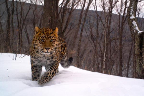Amur leopard spotted in NE China reserve