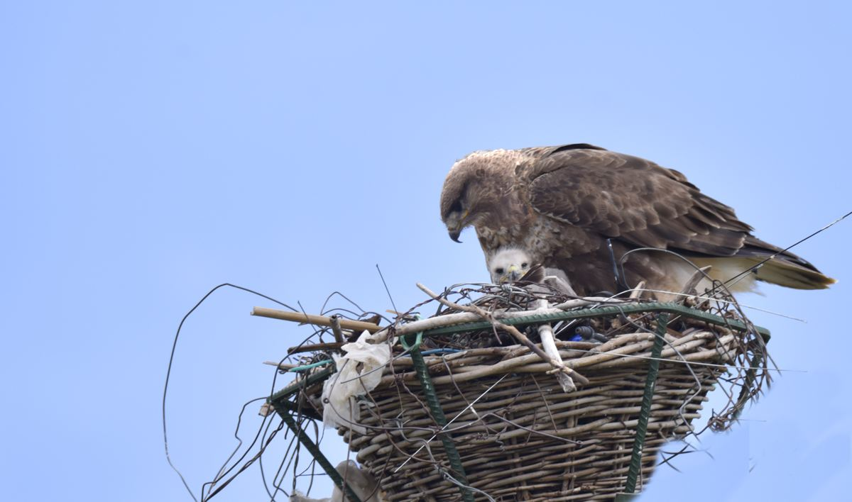 Artificial nests on power poles ensure bird safety, power transmission on plateau