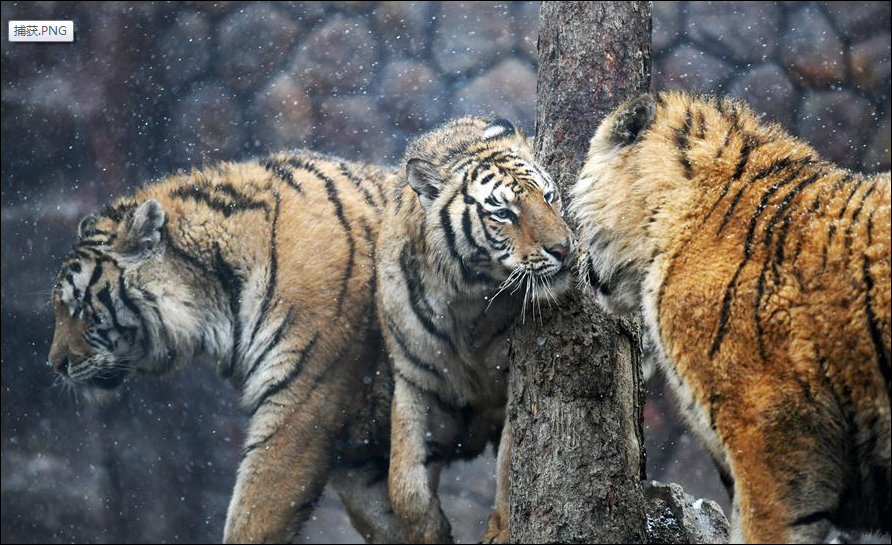 Siberian tigers in Hailin, NE China's Heilongjiang
