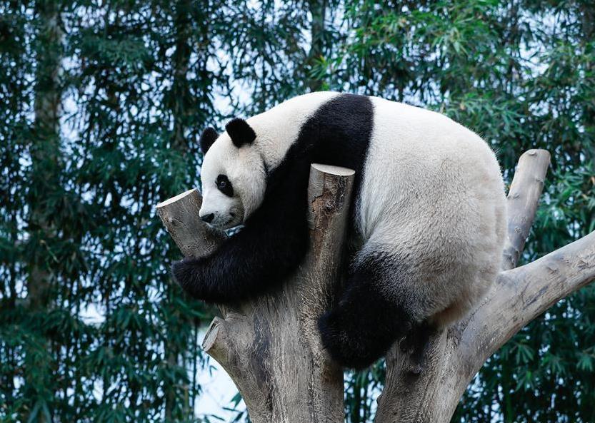 Chinese giant pandas meet public at Panda World of Everland in S. Korea
