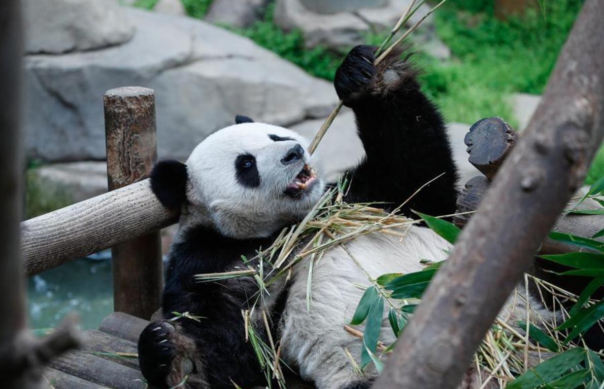 Chinese giant pandas meet public at Panda World of Everland in S Korea