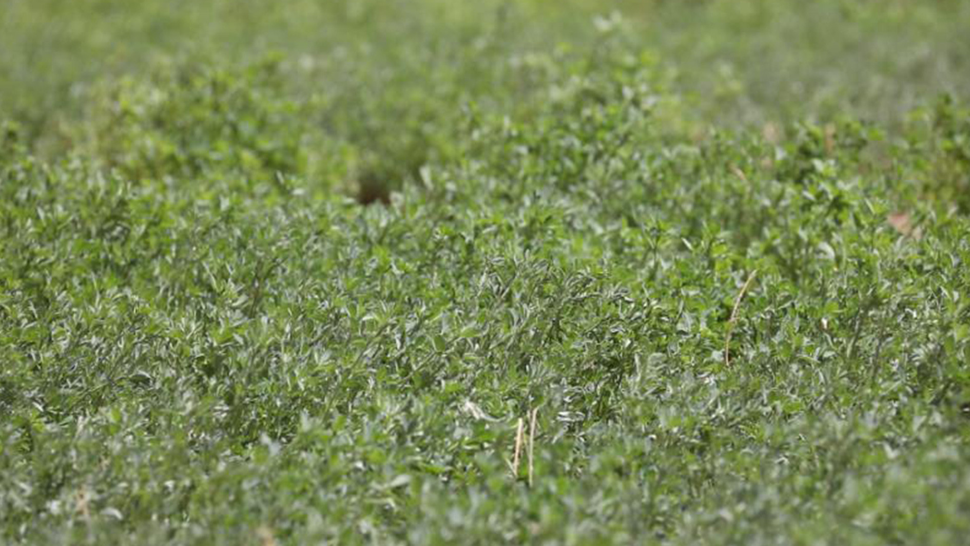 Chinese Holstein cows, alfalfa plants combat desertification in West Africa