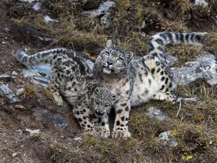 Researchers train herdsmen to monitor snow leopard population