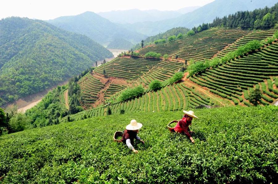 Tea industry helps reduce poverty in Jiangxi