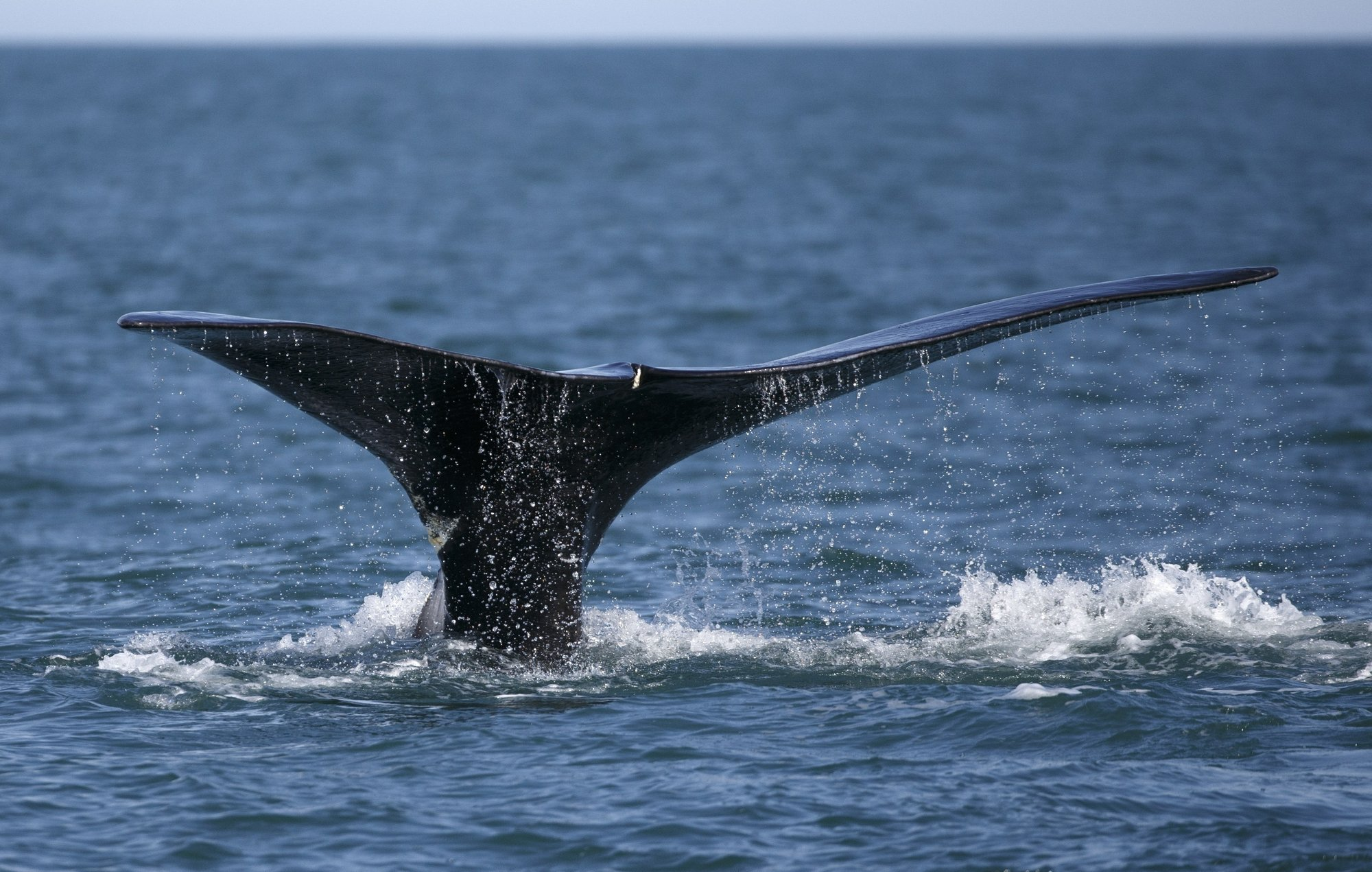 Team recommends reducing lobstering gear to save whales