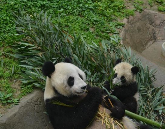 2 pandas to leave for Russia for 15-year research project
