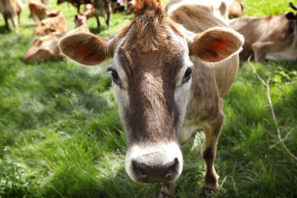 Unraveling the mystery of whether cows fart