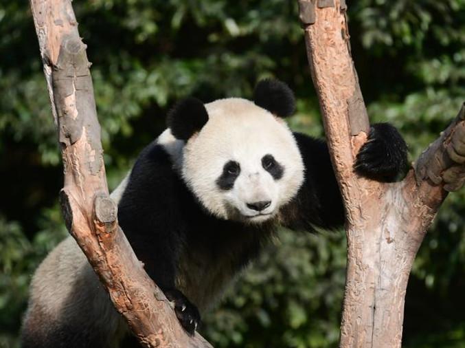 Two pandas head to Russia