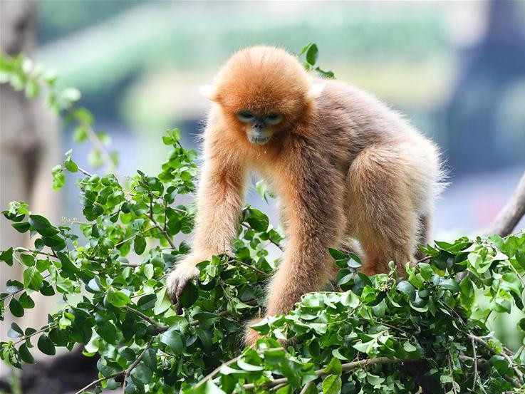 Golden snub-nosed monkeys in Guangzhou, S China's Guangdong