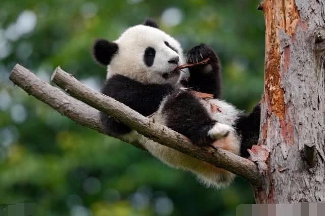 Panda's bamboo diet closer to that of typical meat eater: study