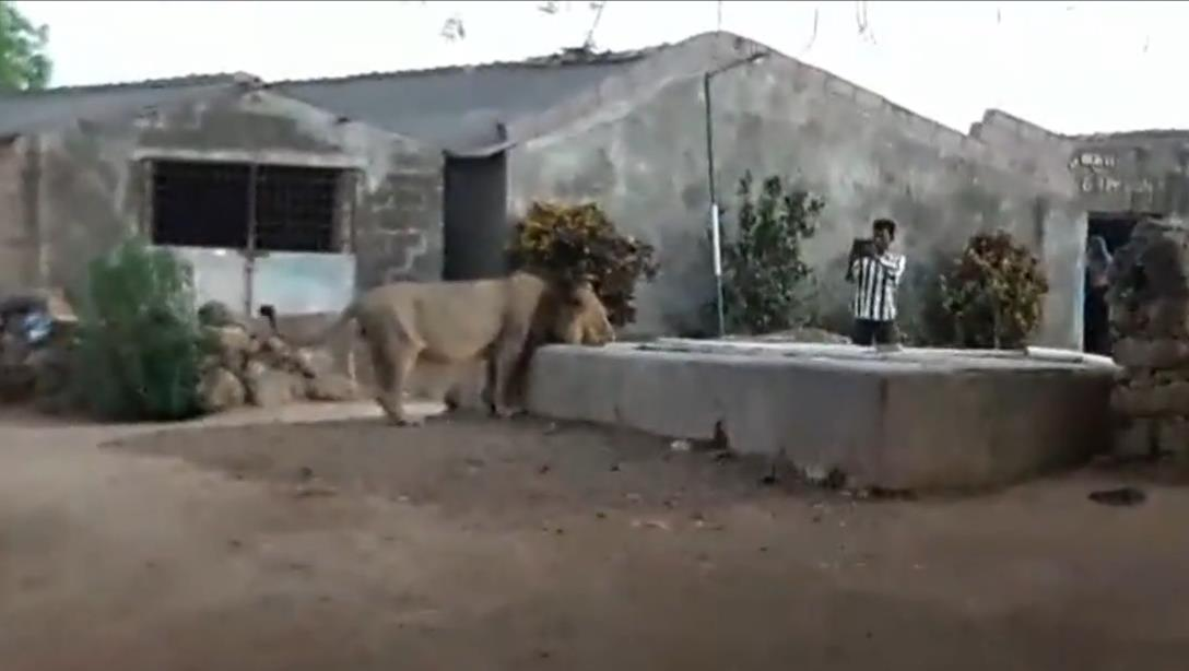 Thirsty lion enters Indian village to get drink