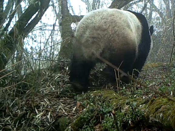 Wild panda activities captured in Mianzhu, Sichuan