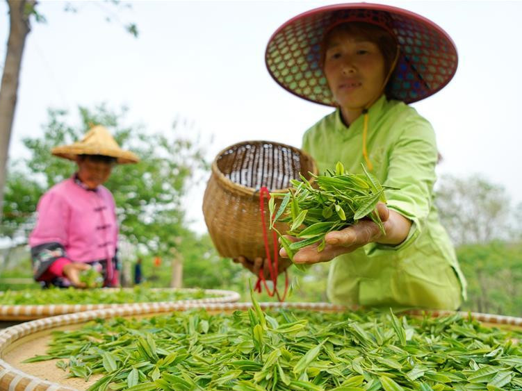 Tea planting lifts villagers out of poverty in north China's Hebei