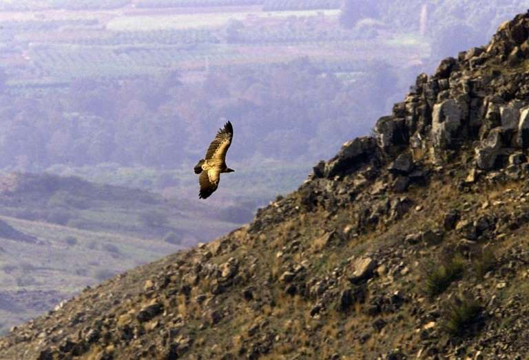 Israel says rare Golan vultures decimated by poisoning
