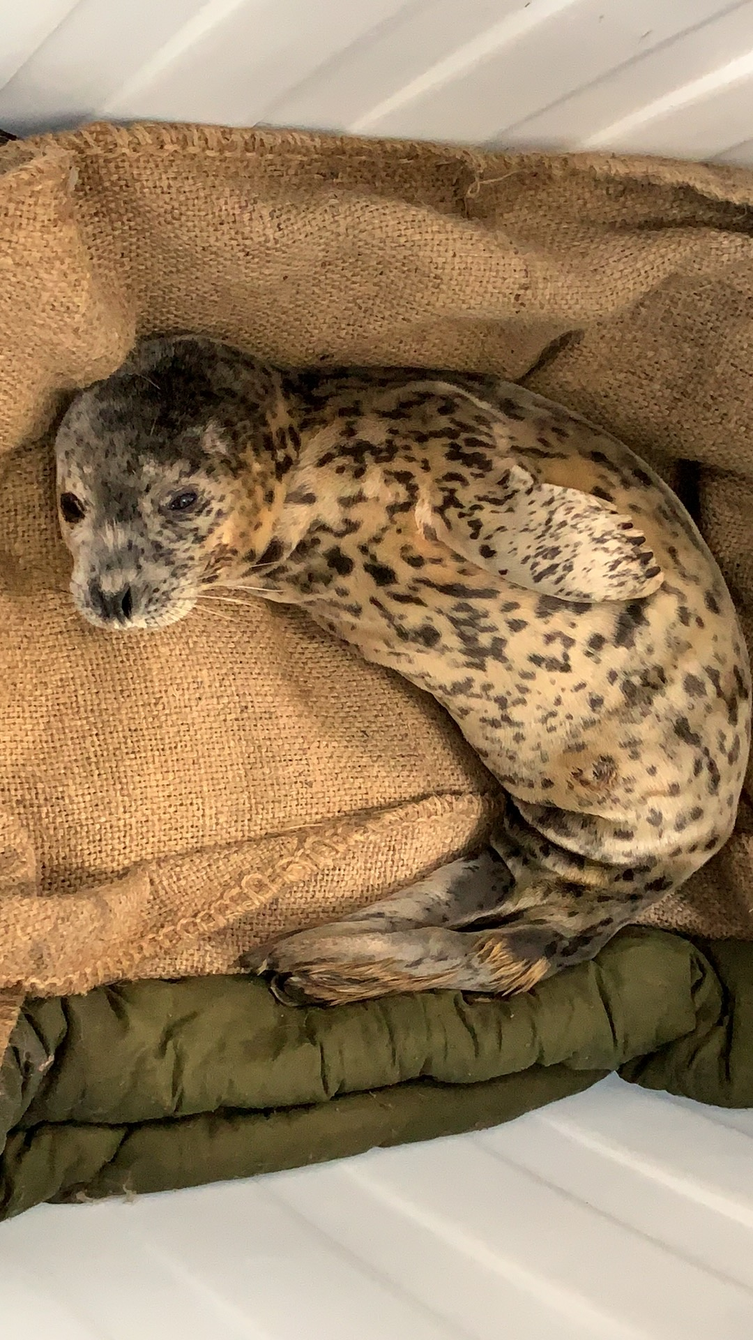 Seals saved from poachers released back to sea