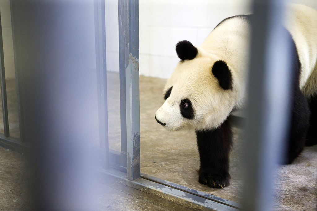 US-born giant panda arrives in Sichuan with mother