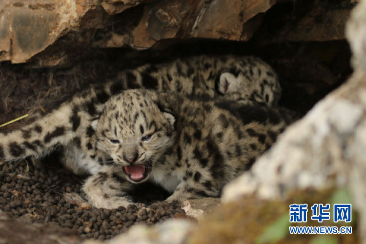 snow leapard.jpg