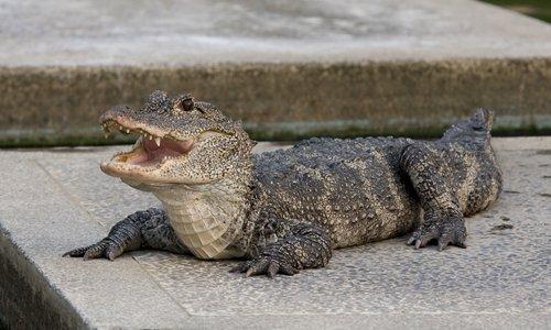 Habitat of endangered alligator encroached upon in Anhui