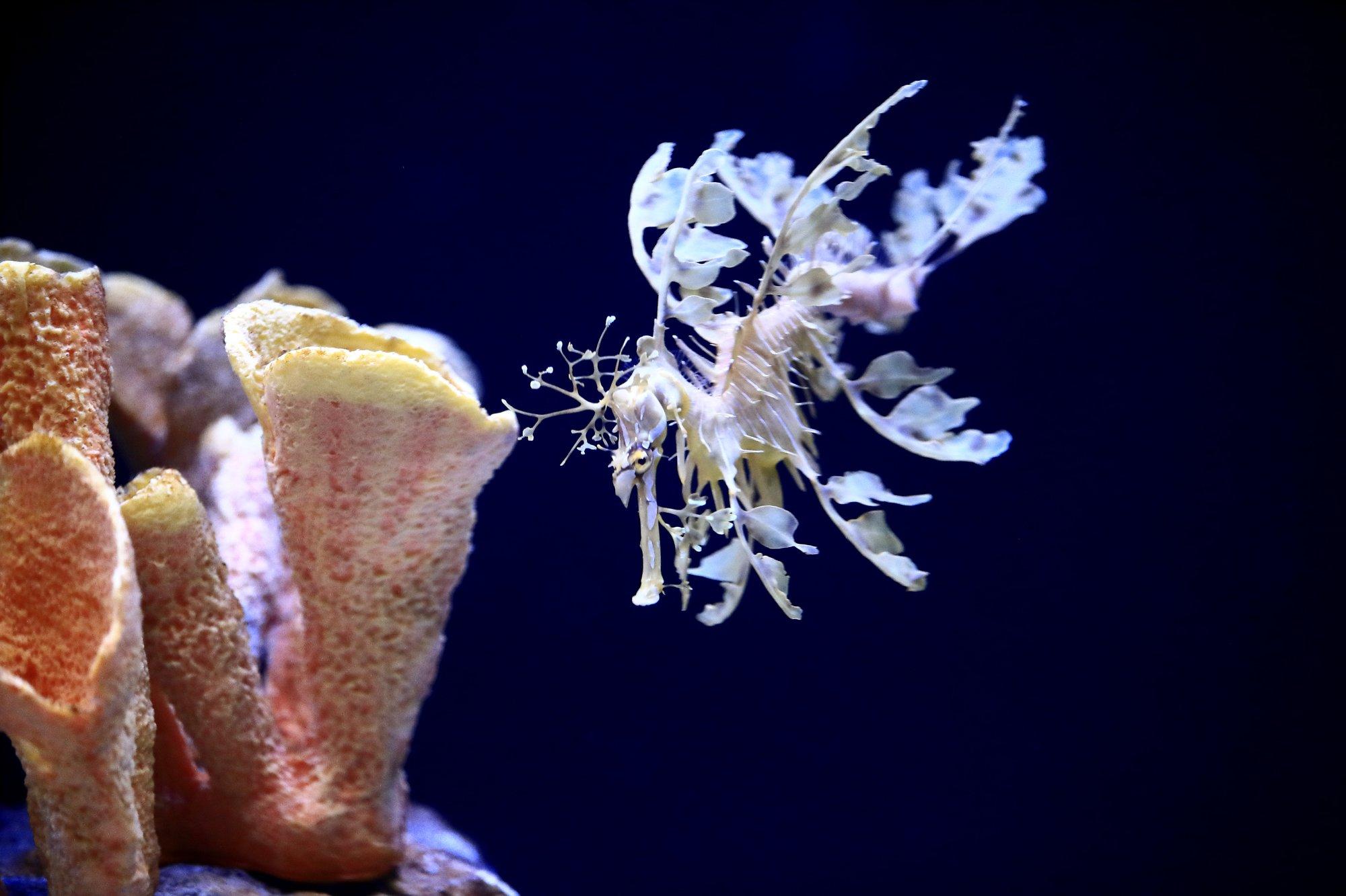 Sea dragon exhibit dazzles visitors at California aquarium