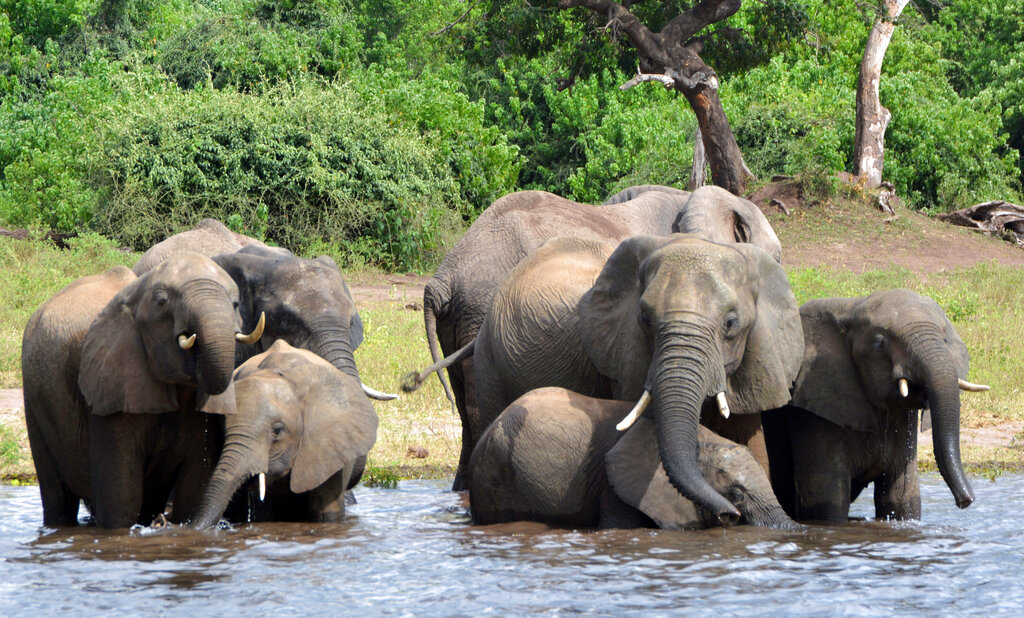 Botswana lifts ban on elephant hunting, to some anger