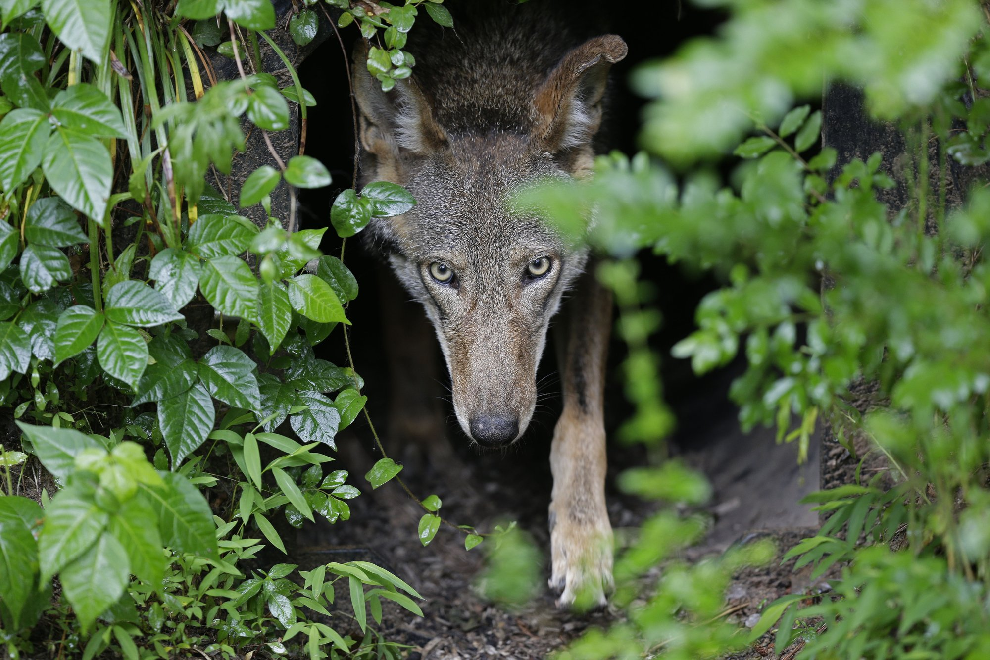 Politics, killings stifle wolf recovery amid hefty price tag