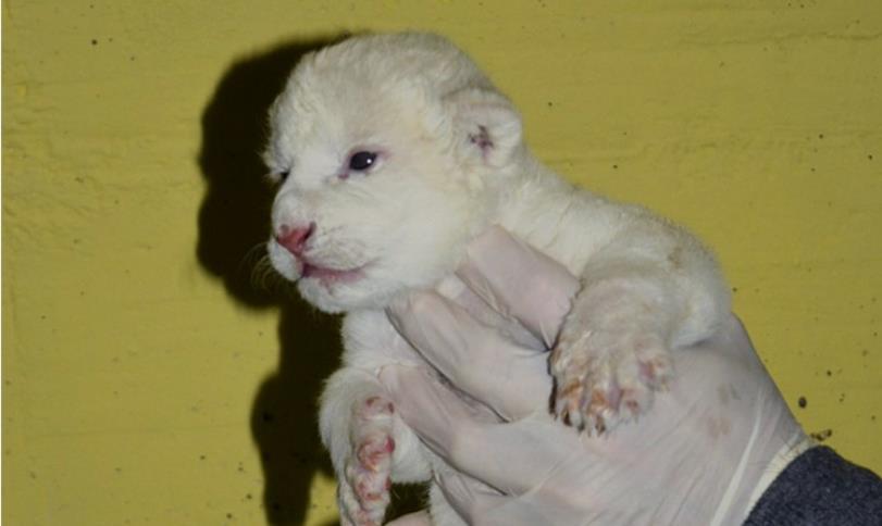 Rare white lion born in Hungary