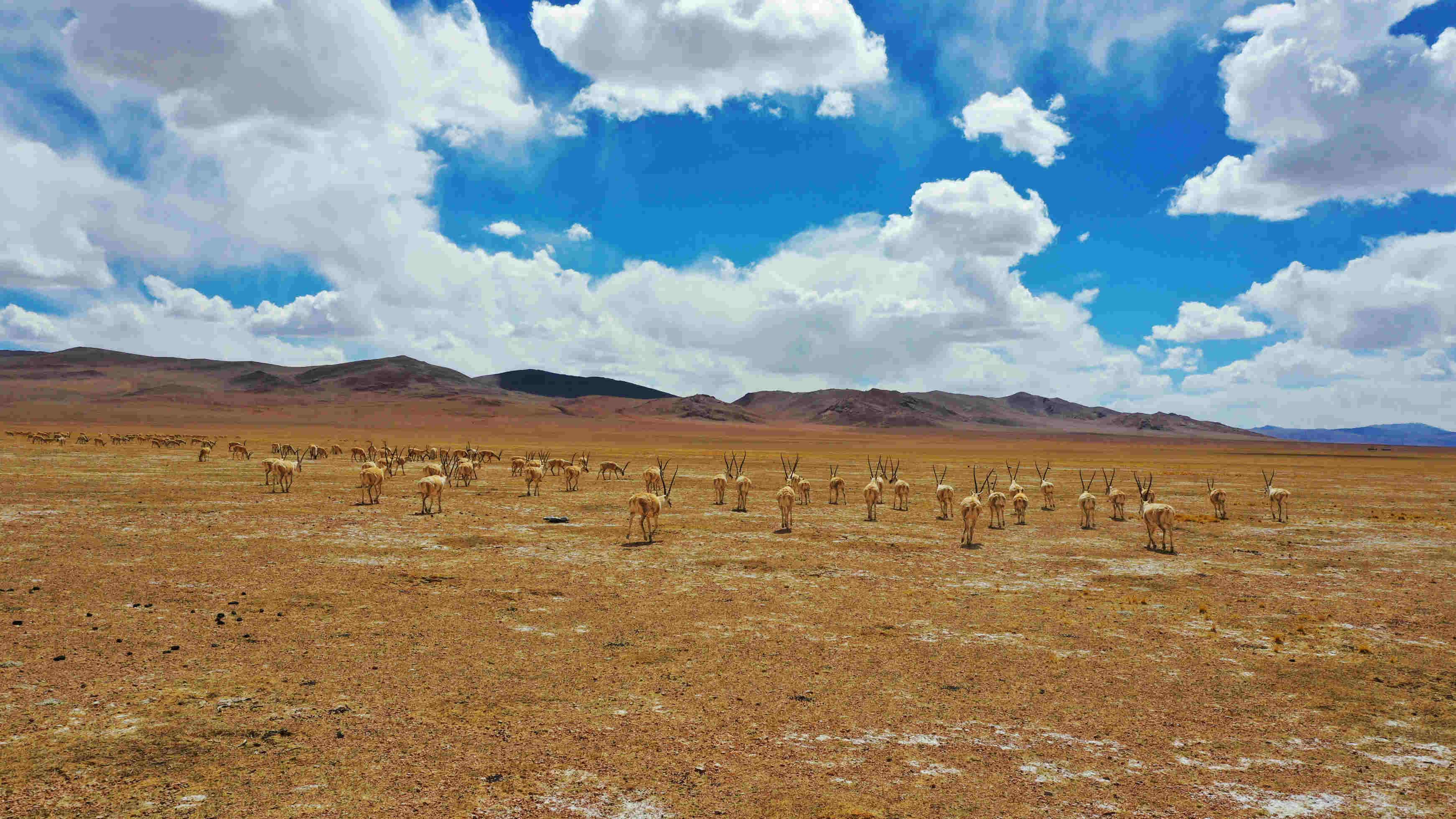 Large number of Tibetan antelopes found migrating in Tibet