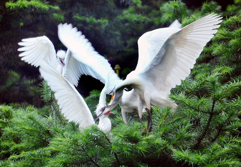 Little egret families greet East China