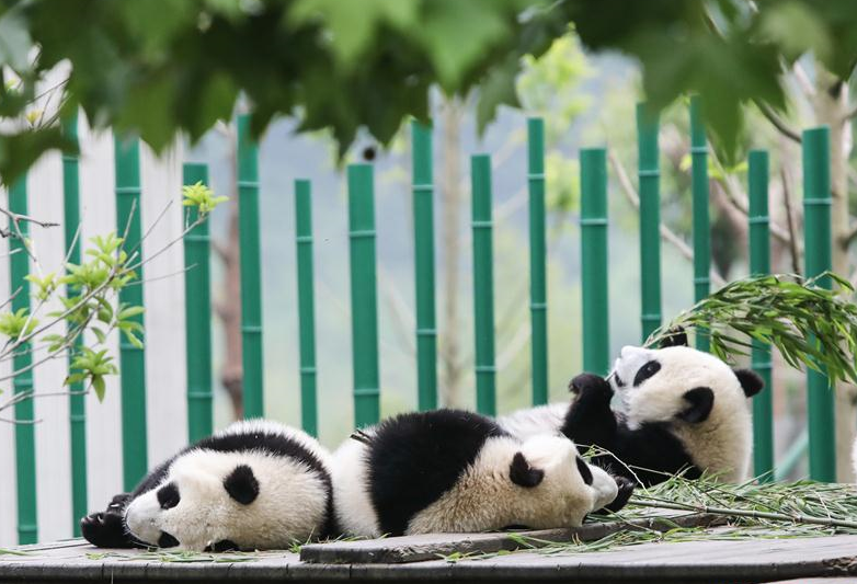 "Baby giant pandas at ""Giant Panda Kindergarten"" in Wolong, SW China"