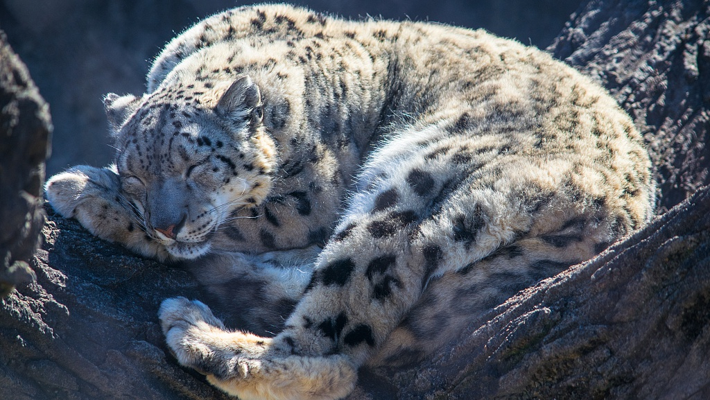 Three snow leopards caught on camera in Qinghai national park