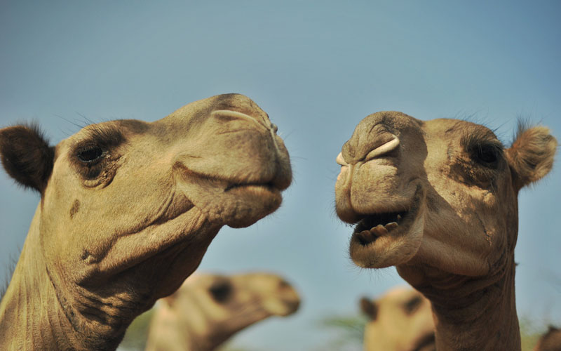 Feral camels have 'massive effect' on farmers properties in Central Australia
