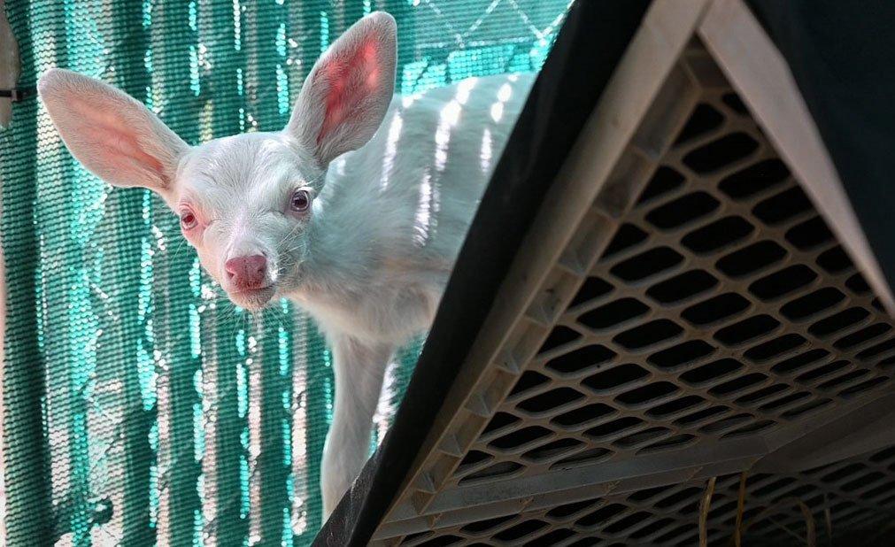 Rare albino fawn found, rescued by trucker in California