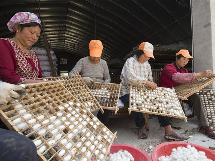 Farmers in Hai'an busy harvesting spring cocoons