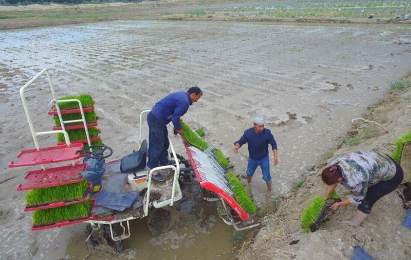 Xinjiang expands test of saline soil rice near desert