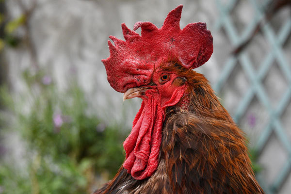 Noisy rooster exposes tensions in rural France