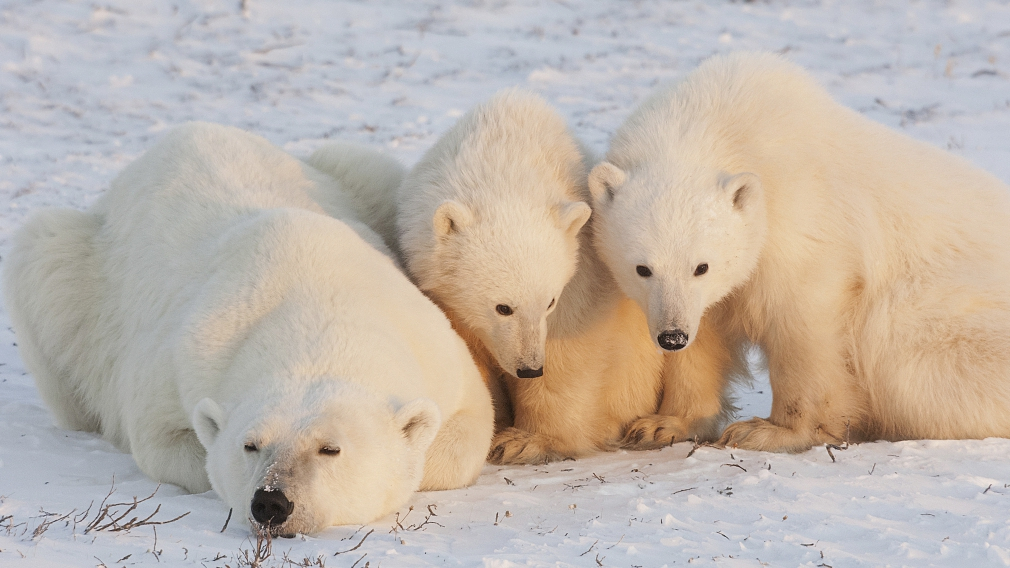 Chinese scientists design heat insulator inspired by polar bear hair