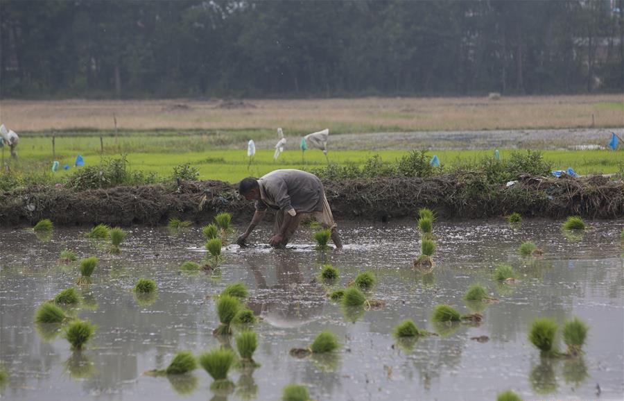 Farmers plant rice seedlings in Awantipora village, Indian-controlled Kashmir